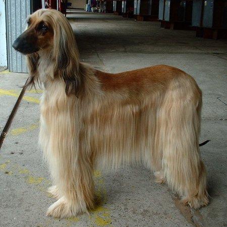 Hunderassen - Hunderasse Afghane