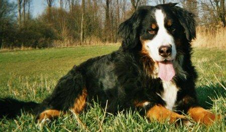 Hunderassen - Hunderasse Berner Sennenhund