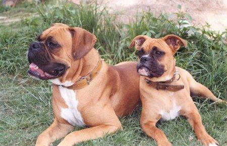 Hunderassen - Hunderasse Boxer
