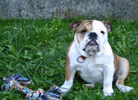 Hunderassen - Hunderasse Bulldogge