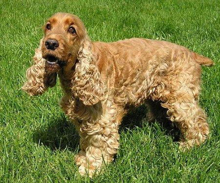 Hunderassen - Hunderasse Cocker-Spaniel