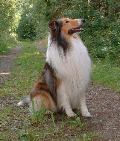 Hunderassen - Hunderasse Collie