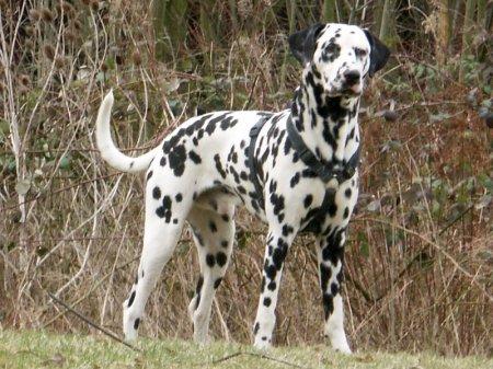 Hunderassen - Hunderasse Dalmatiner