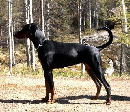 Hunderassen - Hunderasse Dobermann