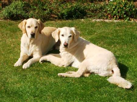 Hunderassen - Hunderasse Golden Retriever