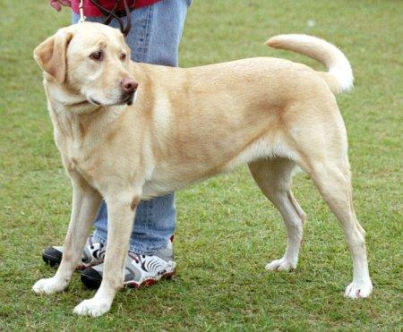 Hunderassen - Hunderasse Labrador