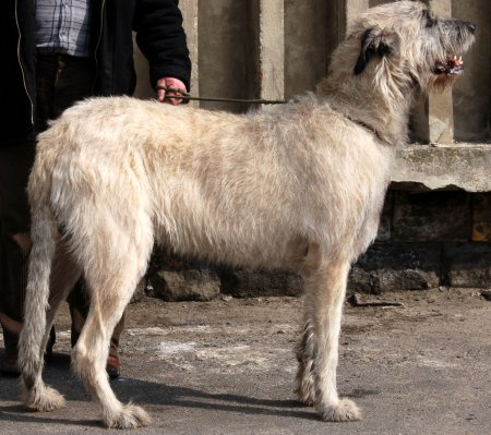 Hunderassen - Hunderasse Wolfshund