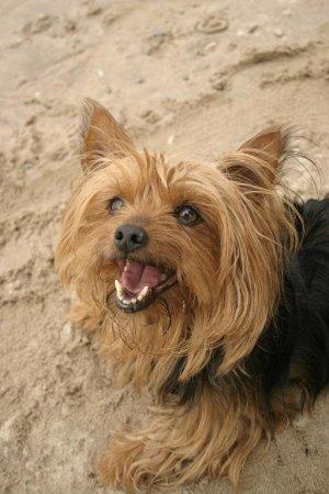 Hunderassen - Hunderasse Yorkshire Terrier